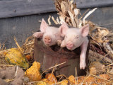 Mixed Breed Piglets in Wooden Bucket Photographic Print by Lynn M. Stone