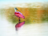 Roseate Spoonbill (Ajaja Ajaja), Sanibel, FL Photographic Print by Kyle Krause