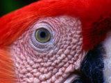 Scarlet Macaw (Ara Macao), Tambopata-Candamo National Park, Madre De Dios, Peru Photographic Print by Alfredo Maiquez