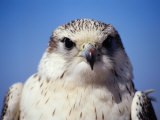 Portrait of Saker Falcon, Qasr Ibn Wardan, Syria Photographic Print by Mark Daffey