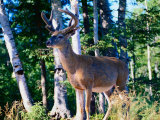 White Tailed Deer (Stag) Standing in Front of Trees, Canada Photographic Print by Nicholas Reuss