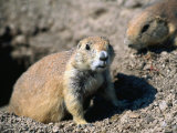 A Black-Tailed Prairie Dog - Badlands National Park, South Dakota, USA Photographic Print by John Elk III
