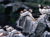 Puffins (Fratercula Arctica) Sitting on Rocks, Farne Islands, United Kingdom Photographic Print by Nicholas Reuss