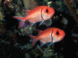 Blackbar Soldierfish (Myripristis Jacobus), Tarou, Dominica Photographic Print by Michael Lawrence
