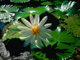 Detail of Water Lily, Indonesia Photographic Print by Nicholas Reuss