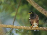 Close View of a Mynah Bird Perched on a Tree Photographic Print by Tim Laman