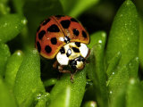 Lady Bug, Coccinella Spp Photographic Print by Larry Jernigan