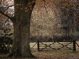 Beech Tree Photographic Print