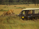 Tourist Views Lions from a Safari Jeep Photographic Print by Richard Nowitz