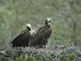 A Pair of Cinereous Vultures in Their Nest Photographic Print by Klaus Nigge