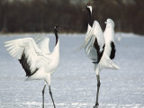 A Pair of Japanese or Red Crowned Cranes Engage in a Courtship Dance Photographic Print