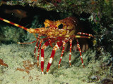 A Close View of a Lobster Near its Reef Home Photographic Print by Tim Laman