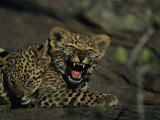 Yawning Four-Month-Old Leopard Cub with its Sleeping Sibling Photographic Print by Kim Wolhuter