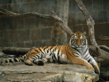A Siberian Tiger Rests in Her Outdoor Enclosure Photographic Print by Joel Sartore