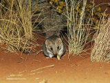 A Rare Marsupial Mulgara Feeding on Larva Near Grass Tussocks Photographic Print by Jason Edwards