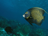 French Angelfish Swims over a Coral Reef Photographic Print by George Grall