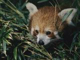 A Close View of a Red Panda at the Perth Zoo Photographic Print by Nick Caloyianis