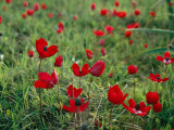 Wild Poppies Growing in a Turkish Field Photographie par Tim Laman