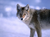 Coyote (Canis Latrans) in Winter, Yellowstone National Park, USA Photographic Print by Carol Polich