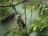 Many-Colored Fruit Dove Sitting on a Slender Tree Branch Photographic Print by Tim Laman