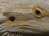 A Close View of the Head of a Central Bearded Dragon Photographic Print by Jason Edwards