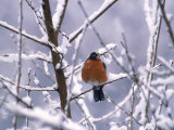 Robin Surrounded by Snow Photographic Print