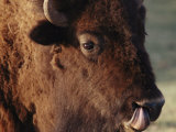 An American Bison Cleans its Nose with its Tongue Photographic Print by Annie Griffiths Belt