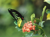 Butterfly Perched on a Flower and Sipping Nectar Fotografie-Druck von Klaus Nigge