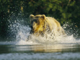 A Brown Bear Splashing in Water While Hunting Salmon Photographic Print by Klaus Nigge