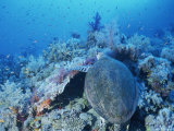 A Turtle Swims over the Coral Reefs with Marine Life in the Red Sea Photographic Print by Peter Carsten