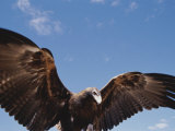 A Wedge-Tailed Eagle with Wings Outstretched Photographic Print by Jason Edwards