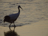 A Japanese or Red Crowned Crane at its Roosting Site Along a River Photographic Print by Tim Laman