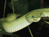 A Beautiful Green Pit Viper Gliding Along a Tree Branch Photographic Print by Tim Laman