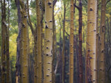 Woodland View of a Stand of Birch Trees Photographic Print by Raul Touzon