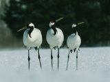 A Trio of Japanese or Red Crowned Cranes at Akan Crane Sanctuary Photographic Print by Tim Laman