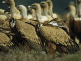 Griffon Vultures Standing on Ground Photographic Print by Klaus Nigge