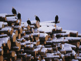 American Bald Eagles Perch on a Stack of Snow-Covered Logs 写真プリント : クラウス・ニッゲ