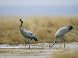 Pair of Common Cranes Walking Through a Wet Patch of Grassland Photographic Print by Klaus Nigge