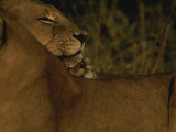 African Lioness Nuzzles her Cub in Africa Photographic Print by Kim Wolhuter