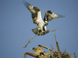 Osprey Landing in its Nest with a Piece of Building Material Papier Photo par Klaus Nigge