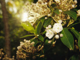 Mountain Laurel in Bloom in Early Morning Light Photographic Print by Raymond Gehman