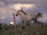 White Horse Trotting Along Barbed Wire Fence Photographic Print by Jim Oltersdorf