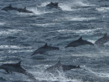 A Pod of Common Dolphins Leaping from the Water Photographic Print by Ralph Lee Hopkins