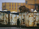Grizzly Bear and her Cub Scavenge from a Dumpster Fotografisk tryk af Joel Sartore