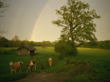 A Double Rainbow Arcs over a Field with Cattle Photographic Print by Peter Carsten