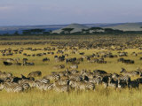 Herds of Zebra and Wildebeest on the Serengeti Fotografisk tryk af Skip Brown