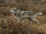 Alpha Gray Wolf Carries Off an Elk Leg After Feeding Photographic Print by Jim And Jamie Dutcher