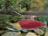A Sockeye Salmon Spawns in the Shallow Water of the Adams River Photographie par Paul Nicklen