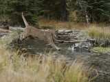 Mountain Lion Hunts a Mallard Duck in a Creek Photographic Print by Jim And Jamie Dutcher