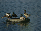 Two Pairs of Mallards Balance on a Floating Tire Photographic Print by Melissa Farlow